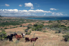 Landscape of the North of the island of Madagascar. Some Zebu cattle graze on the slopes of a hill that comes down to the turquoise blue ocean Royalty Free Stock Photography