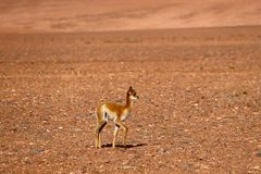 The landscape of northern Chile with a baby vicuna in the desert highlands of northern Chile, Atacama Desert, Chile royalty free stock photo