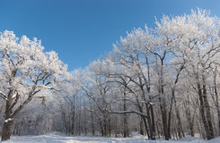 Landscape with an oak forest covered with frost. Against a blue sky Stock Photo