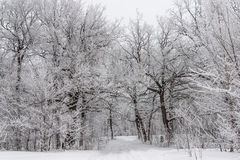 Landscape with an oak forest covered with frost. Landscape with oak trees covered with frost. Sombre sky Stock Photos