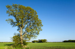 Landscape with oak tree Royalty Free Stock Photo