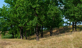Landscape with oaks Royalty Free Stock Images