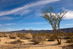 Landscape with Ocotillo royalty free stock images