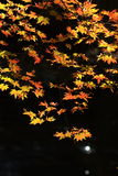 Landscape Of Autumn Maple Stock Photography