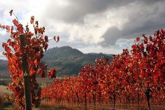 Landscape Of Autumn Vineyard Royalty Free Stock Photography