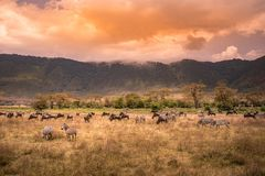 Landscape Of Ngorongoro Crater -  Herd Of Zebra And Wildebeests (also Known As Gnus) Grazing On Grassland  -  Wild Animals At Stock Photography