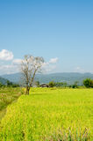 Landscape Of Rice Field Royalty Free Stock Images