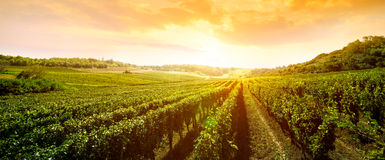Landscape Of Vineyard Royalty Free Stock Photos