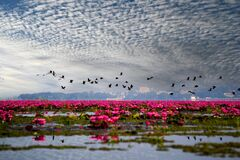 Free Landscape Of Vvew Of Red Lotus Lake And A Flock Of Flying Birds On Bule Sky Background Stock Photography - 214162282