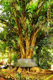 Old banyan tree. Bali Island Royalty Free Stock Photos