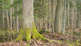 Landscape of old forest and water. Spring landscape of old forest and water royalty free stock photography