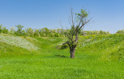 Landscape with an old lonely pussy-willow tree in lowland Royalty Free Stock Photography