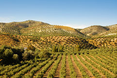 Landscape of the olive trees Royalty Free Stock Photo