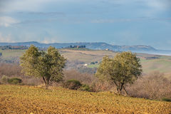 Landscape of olive trees in the background Tuscan farm. Royalty Free Stock Photos
