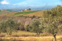 Landscape of olive trees in the background Tuscan farm. Stock Photography