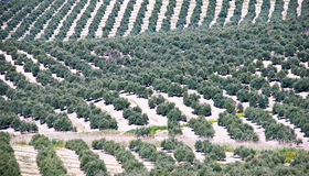 Landscape of Olive Trees in Spain Stock Images
