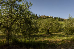 Landscape with olive trees, Tuscany, Italy. The landscape with some olive trees, Tuscany, Italy stock images