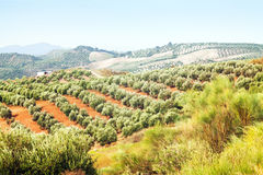 Landscape with Olives plants Royalty Free Stock Photos