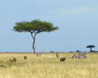 Landscape with one Acai Tree in grassland with six zebras and three topis and one impala in the foreground Royalty Free Stock Photography