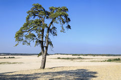 Landscape with one coniferous tree in sand valley Royalty Free Stock Images