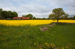 Landscape over rape field  in Scania, Sweden. Royalty Free Stock Images