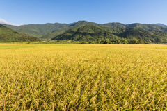 Landscape of paddy farm Royalty Free Stock Images