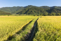 Landscape of paddy farm Royalty Free Stock Photos