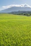 Landscape of paddy farm Royalty Free Stock Photo