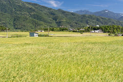 Landscape of paddy farm Royalty Free Stock Photography