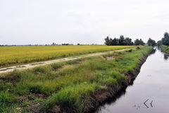 Landscape of Paddy Field Royalty Free Stock Photography