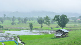 Landscape of paddy field in rainy day, Agriculture scene Stock Photography
