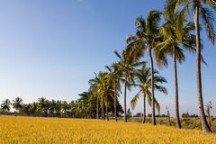 Landscape of Paddy field Stock Image
