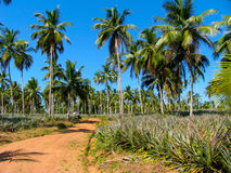 Landscape with palms in Sri Lanka Royalty Free Stock Photography