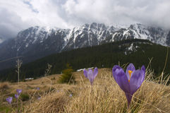 Landscape panorama of Bucegi Mountains in spring. Landscape panorama of Bucegi Mountains with mountain crocus in front. Mountain crocus (Crocus heuffelianus royalty free stock photos