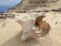Sea shell washed out on a beachin Cayo Coco Cuba. Detail image of an empty broken sea shell Royalty Free Stock Photos