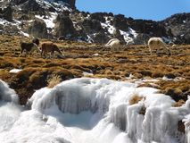 Flames in the Peruvian Andes under the ice. Landscape of the Peruvian Andes with flames and cold ice; llamas eating green grass under the cold ice of the Andes Royalty Free Stock Image