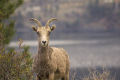 Landscape photo of Bighorn Sheep in Kelowna Royalty Free Stock Images