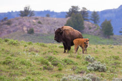 Landscape photo of cow buffalo with newborn Stock Image