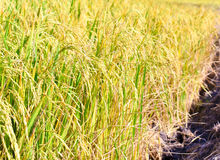 The landscape photo, rice fields color gold. Stock Image