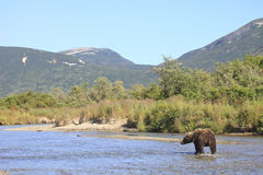 Landscape photograph of brown bear in Alaska Stock Image