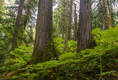 Ancient Forest in British Columbia, Canada stock photography