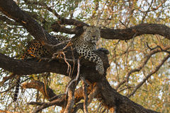 Landscape photograph of male leopard resting in big tree. Landscape photograph of male leopard resting in tree stock photos