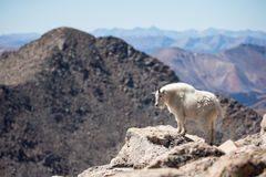 Landscape photograph of rocky mountain goat Stock Photography
