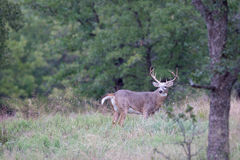 Landscape photograph of whitetail buck Royalty Free Stock Photos