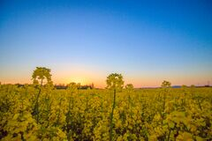 Landscape Photography of Yellow Flower Field Under Blue Sky during Daytime Royalty Free Stock Photo