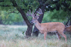 Landscape picture with big typical whitetail buck Stock Photography