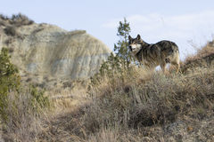 Landscape picture of wolf in canyon Royalty Free Stock Photography
