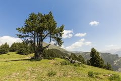 Landscape with pine on the Coll de la botella in the area Pal Arisal, Andorra. Landscape with pine on the Coll de la botella in the area Pal Arisal in Andorra stock photo