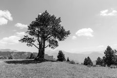 Landscape with pine on the Coll de la botella in the area Pal Arisal. In Andorra Royalty Free Stock Image
