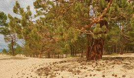 Landscape of pine forest on golden sandy beach of sea, close-up. Landscape of pine forest on sand beach of bay. Coniferous tree close-up on golden sandy shore stock images